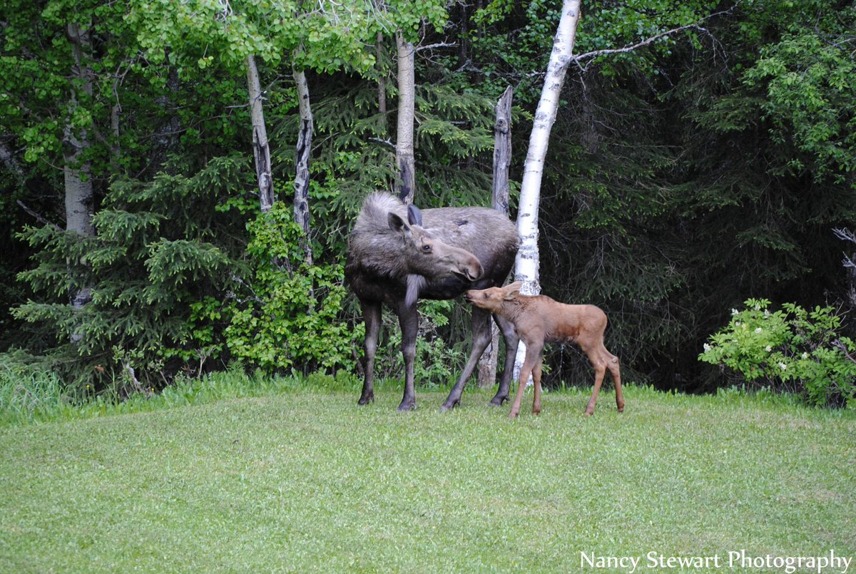 A mother's love is priceless!  #moose #wildlife #alaska #photography http://t.co/tOalfuy5uP
