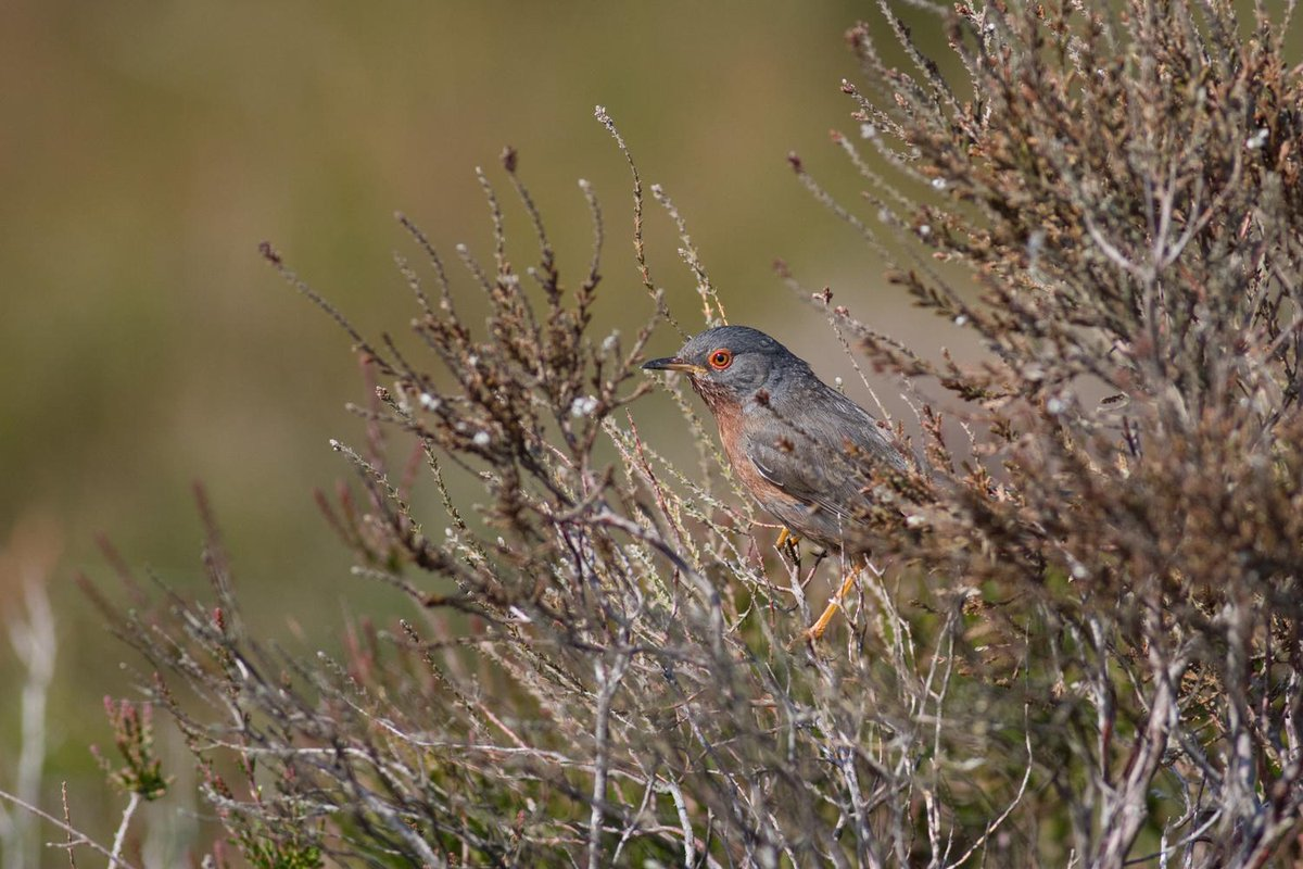 After 6+ years missing from Ockham Heath, we welcome back the #DartfordWarbler with open arms http://t.co/dUbLy7tY55 http://t.co/VklTPb6V1r