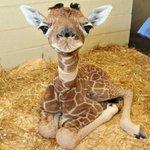Детеныш жирафа http://t.co/vLf0tyPbfl