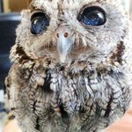 Meet Zeus, the owl with eyes that look like the night sky http://t.co/6TWQYP8wWF