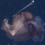 Black Seadevil caught on camera at depths of 1,900 feet http://t.co/2XWFltmKa2 http://t.co/u3nhQd0hhJ