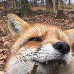蔵王キツネ村の狐さんは人懐こいので超至近距離でもふもふ堪能出来ます(`・ω・´)ほっほっほっ http://t.co/CbZ4WJlscs