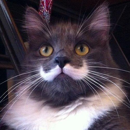 Grow your facial hair but you will never better Movember cat. http://t.co/YfBy3tkLWr
