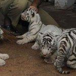 Seven tiger cubs spotted in Satpura tiger reserve http://t.co/A9A9W8VxtU
