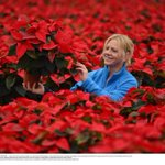 A sea of red in North Yorkshire as xmas poinsettias inspected before going on sale next week - pics @paulkingstonnnp http://t.co/HrrqMnsdRd