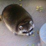 Просто кто-то слишком много ест... Ничего особенного. Обычный толстый енот. http://t.co/dDizNuotSL