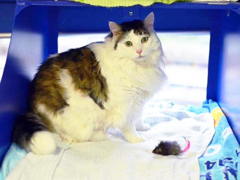 Meet the 26-lb. shelter cat going on a Christmas diet. You are an inspiration to us all.