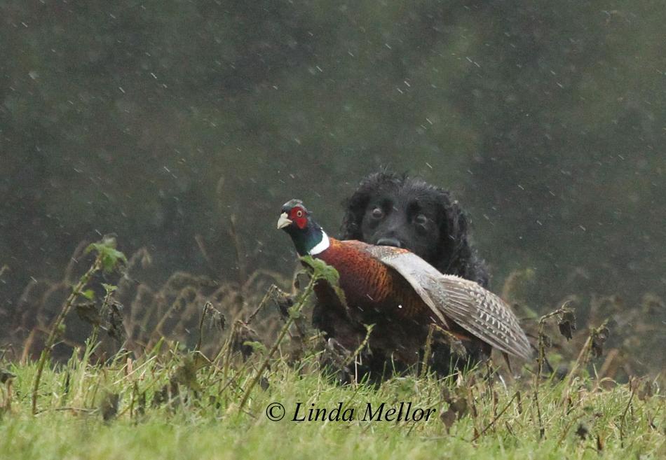 Cocker retrieving a runner #gundog #Shooting #countryside #fieldsports http://t.co/FIEDMUL68M