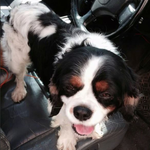 LOST 22/11/14 Highton #LostDog #Highton #Geelong http://t.co/7JAapXfV6q