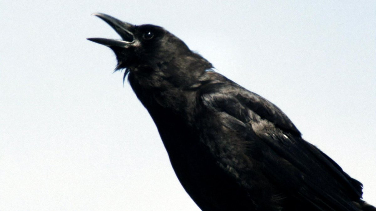 New research indicates crows are among the brightest animals in the world http://t.co/jYjsmT9XZJ #MurderofCrows http://t.co/h5vJEjnB30