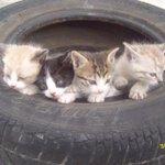 #Saltillo, estos gatitos bebés buscan hogar, interesados aquí conmigo ???? http://t.co/dl85HZ5NbV