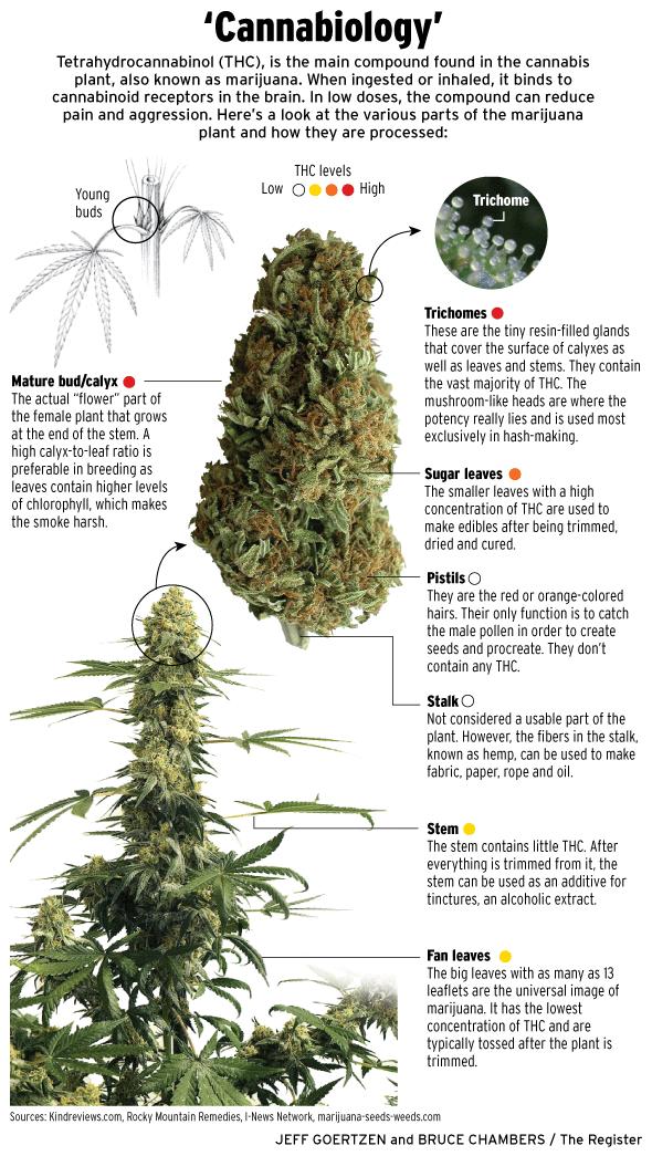 Anatomy of marijuana