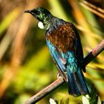 He was a late afternoon visitor #nativebird #Tui #huttvalley http://t.co/xjZxvhkFej