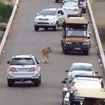 Leão provoca congestionamento em ponte de parque na África do Sul http://t.co/wj485Hom2m #G1PlanetaBizarro http://t.co/XQ5YahuG4U