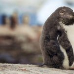 Após ataques sexuais de focas em pinguins, montagens mostram como seria mistura dos bichos http://t.co/vBwk7pYmps #G1 http://t.co/thVq1jk5W9