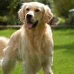 Si le #Bélier était un chien, il serait... un Golden Retriever. http://t.co/stKzu1ILoF
