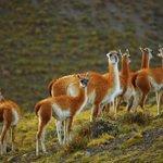 Guanaco (Lama guanicoe), Torres del Paine National Park, Chile .... http://t.co/kVOggrEZWG