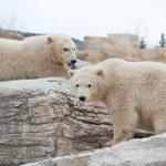 Innovative Winnipeg zoo experiment shares the plight of polar bears... http://t.co/QbOJ3AS3HW #exploremb http://t.co/kkIwTbR60M