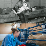 #tbt No turkey pics today, but #UMaine students with sheep then and now. Happy Thanksgiving! http://t.co/ATBXRd04VQ