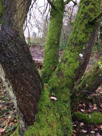 Nature Notes: moss on a murky morning. Nr Churchill, Oxfordshire http://t.co/vxJuq2uoeH