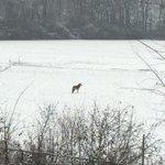 @OttawaMorning coyote in my Orleans backyard last week. http://t.co/XC2oJhoV35