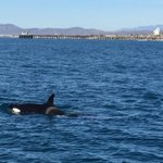 Video of the #Orcas in #Oceanside! Photo by Officer Hoover. http://t.co/u2DNa3yXJP http://t.co/pWd10hnVJI