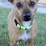 Looking for a new small companion? This is Elizabeth (2yrs old #Chihuahua mix), adopt her at the SAHS! #sanantonio http://t.co/t3E9NXTuhX
