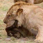 Guerreiro: texugo enfrenta 8 (sim, 8) leões e consegue escapar. http://t.co/eirsom3r37 http://t.co/pTqEGoX7Xv