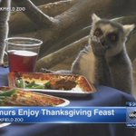 Lemurs feast on (imitation) turkey at Brookfield Zoo: http://t.co/IMba5xQxBG http://t.co/PaeeO5UuIf