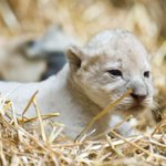 Slideshow from @chrismachian of the Lion Cubs at the @OmahaZoo http://t.co/awXzuqBBXz Video: http://t.co/RmTfpNzTK0 http://t.co/ykUp2XaaLj