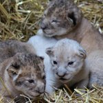 A Rare White Lion Was Born In Omaha And Attention Must Be Paid http://t.co/YsIwTMfvpm http://t.co/Z8xPM5hUMb
