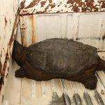 COBÁN - Tortuga lagarto, Chedryla serpentina, de 85 libras, localizada luego de inundaciones. Conap lo tiene a cargo. http://t.co/xbdsARdRKc