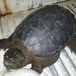 Hallan tortuga lagarto tras desborde de río en Alta Verapaz. (Foto: Conap) Lea más en→ http://t.co/NYB9oskPMU http://t.co/0xrajDjAWj