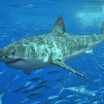 Great white #sharks: 10 myths debunked http://t.co/HbGYQzm6WV via @guardian http://t.co/rr1ggp6Zuu