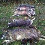 Un @guardiacivil entre los imputados por la matanza de cinco lobos en Camaleño http://t.co/blCFkQZkMQ http://t.co/kFMd10dbFH