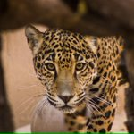 Welcome our new #Jaguar! The #ABQ #BioParkZoo welcomes our newest family, Maya! #zoo http://t.co/NiOKMTa5Kd