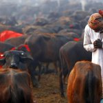 A man bows down to one of the buffaloes brought for sacrifice at Bariyarpur, Bara for Gadhimai festival, on Friday. http://t.co/0ZLXs5aSGi