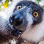 Lemur selfie! See more here: http://t.co/63H2mV7Tb4 http://t.co/zxNGan7WM7