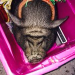 You never know what you'll find in downtown katonah  a singing pot bellied pig called Pinky! http://t.co/CVEZNBtcCz