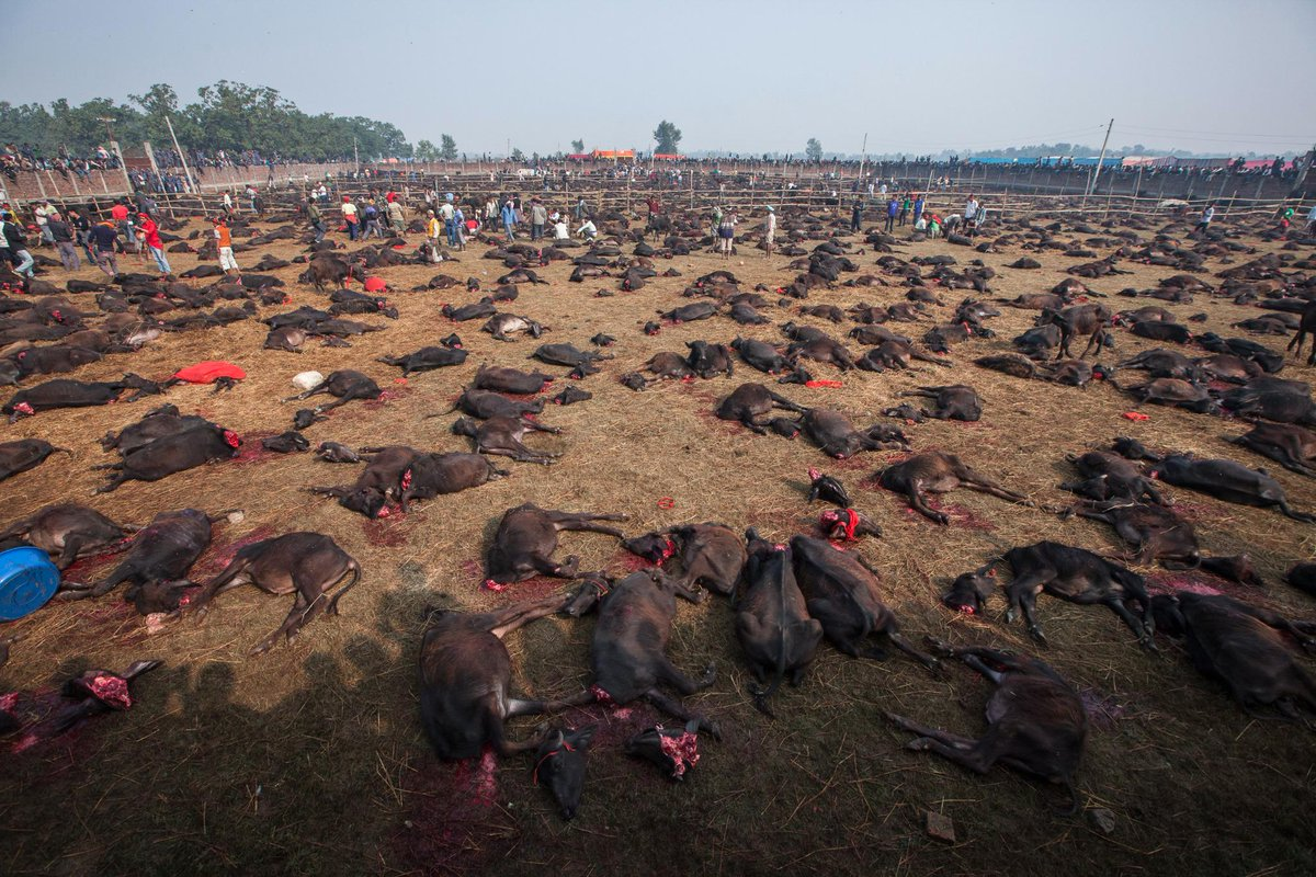 Hate to you spoil your beautiful Saturday, but since only images shock us. Day 1 of the slaughter at #Gadhimai http://t.co/zhkcZ5TmSy
