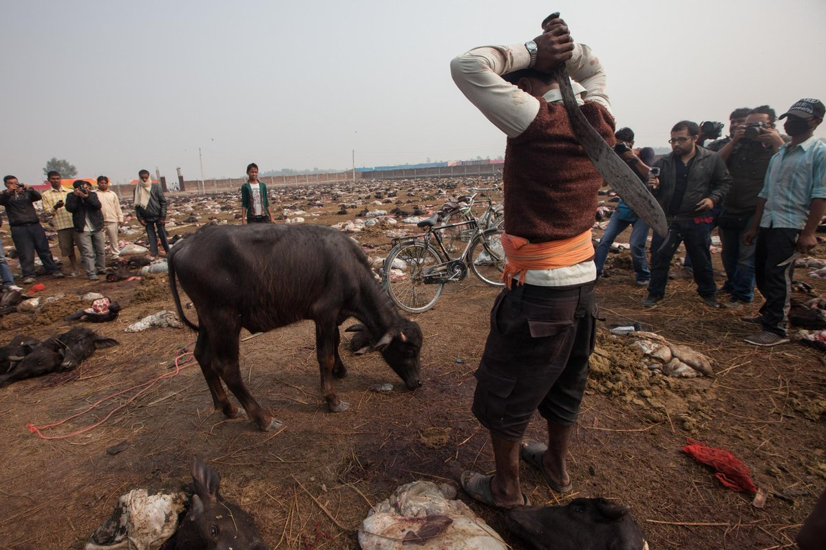 A buffalo about to slaughtered #Gadhimai. Tell Nepalese government this MUST be the last time http://t.co/KbgxbRdoEu http://t.co/AvzGRguUi2