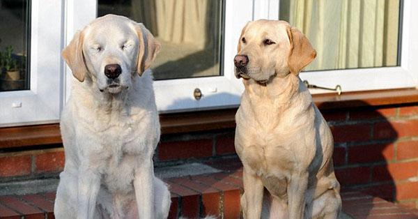 Conheça um cão-guia que ficou cego e ganhou… um cão-guia! http://t.co/Sz2xo4acve http://t.co/yamP6BNspm