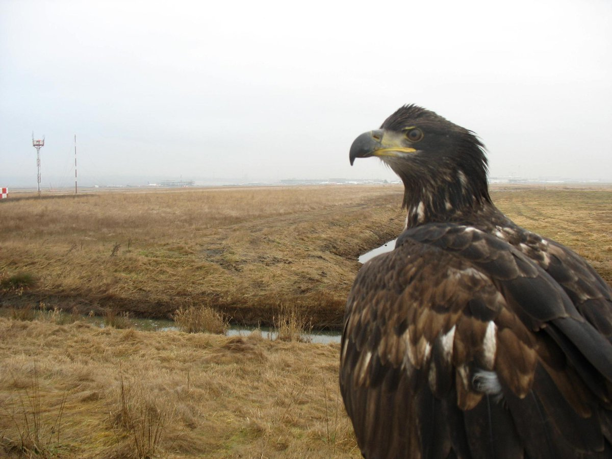 YVR uses raptors like Hercules to help make sure birds & aircraft don't mix: