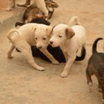 RT @FernFly: Eleven beautiful 35 day old pups need loving homes in Delhi NCR. To adopt these babies, please call 9911406790. http://t.co/Wq…