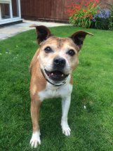 Tiny Beattie 12 years #staffie needs a home, kenneled #Lancashire. http://t.co/FI2ty2LTM0 http://t.co/vyHPVJHT0n