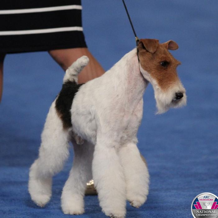 So many Terriers, so little time! #CelebrateDogs http://t.co/pONi4vbJbz http://t.co/l5R5ibiuhU
