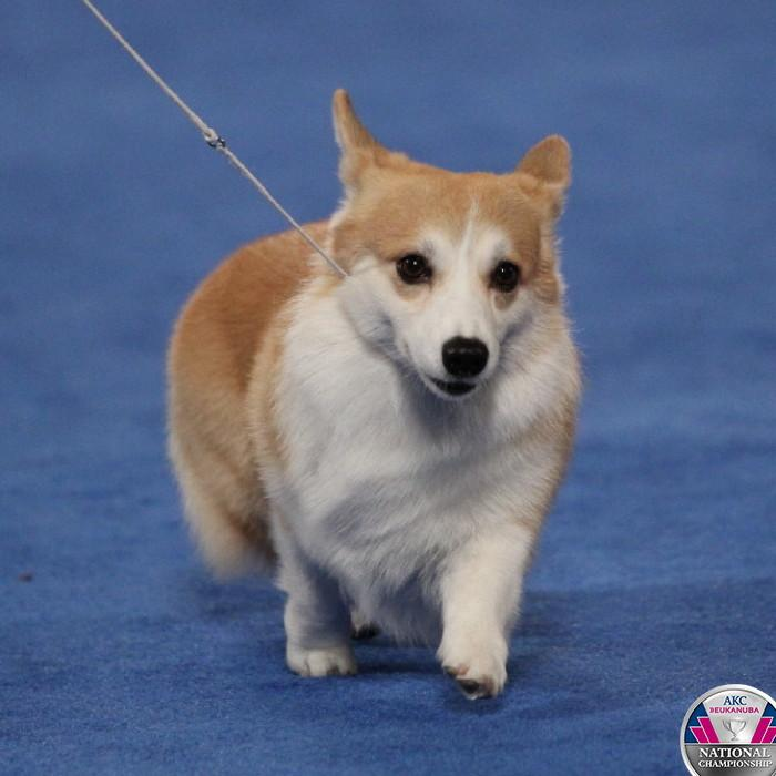 The Pembroke Welsh Corgi #CelebrateDogs http://t.co/pONi4vbJbz http://t.co/ar96MgxNdJ
