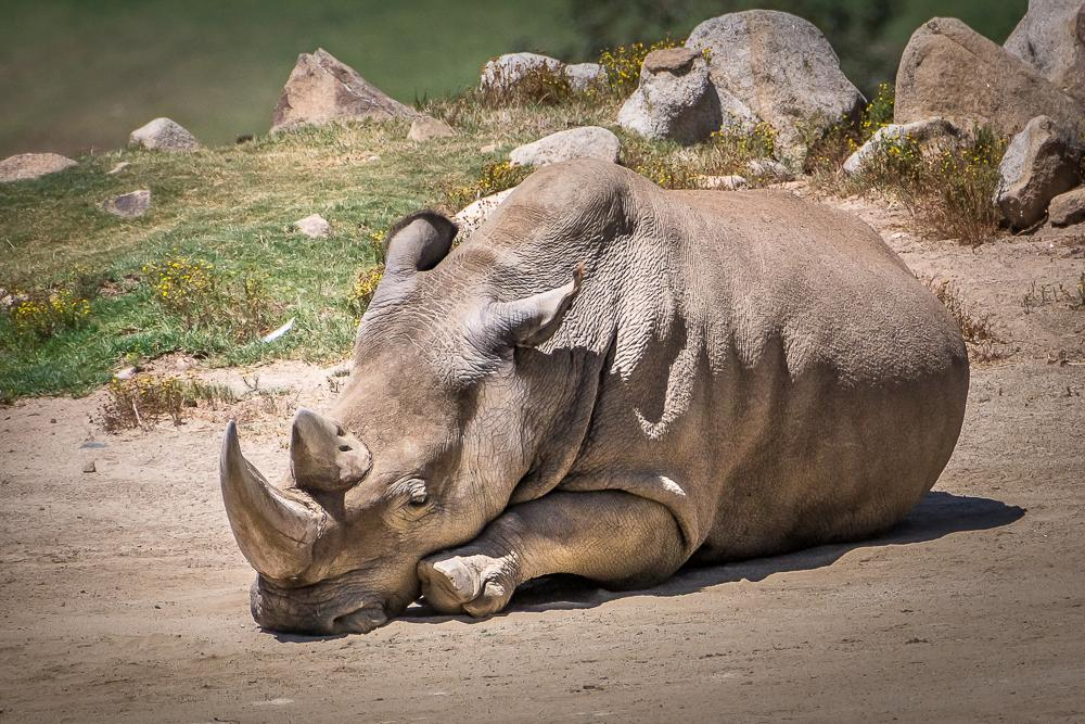 Angalifu passed away. 5 northern white rhinos remain #RIP #EndExtinction Pls share condolences. Photo: Helene Hoffman http://t.co/X0sEkWNJAF