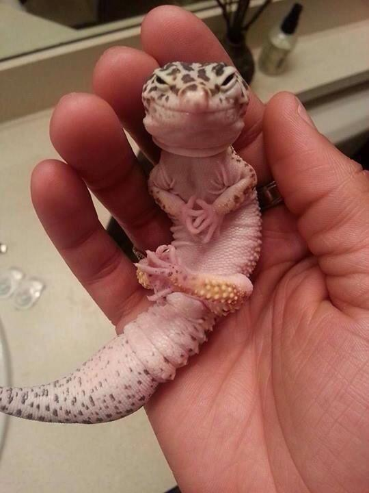 This leopard gecko looks like he's just hatched a plan to take over the world: http://t.co/H43Oi1wRd5