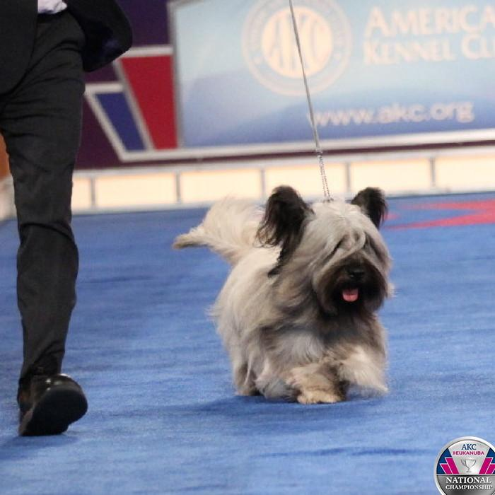 The 2014 AKC/Eukanuba National Champion, Charlie the Skye Terrier! #CelebrateDogs http://t.co/pONi4vbJbz http://t.co/zyfqGWuD7h